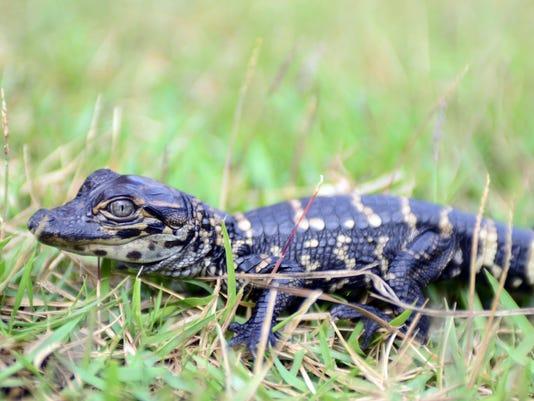 Hattiebsurg Zoo Baby Alligators 3.jpg