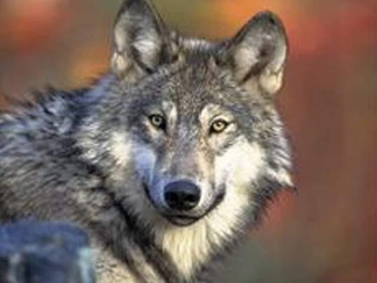 Mexican Gray Wolf.jpg