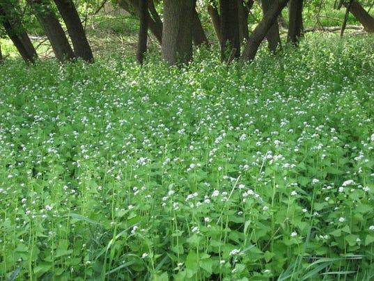 635986617644937817-05-16-2016-Garlic-mustard-dominance-in-forest-floor.jpg