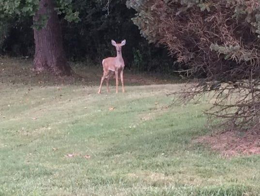 636099635694109501-Boxhill-deer.JPG