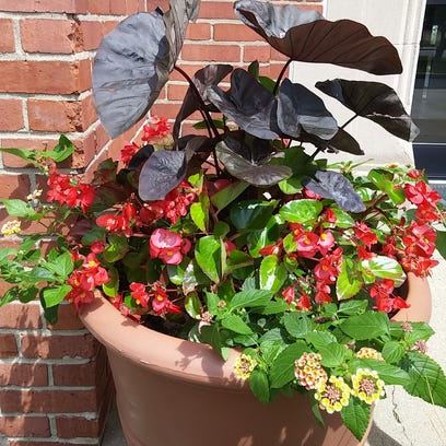 An alternative begonia worked better than expected in a container of Irene lantana and Black Magic colocasia in a Fountain Square garden.