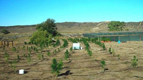 A marijuana farm found located on the Cahuilla Indian Reservation.