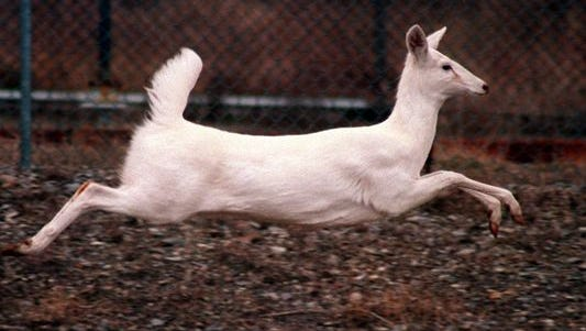 White deer are found on the Seneca Army Depot in the Finger Lakes
