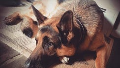 Otto, the 5-year old German Shepherd that was killed