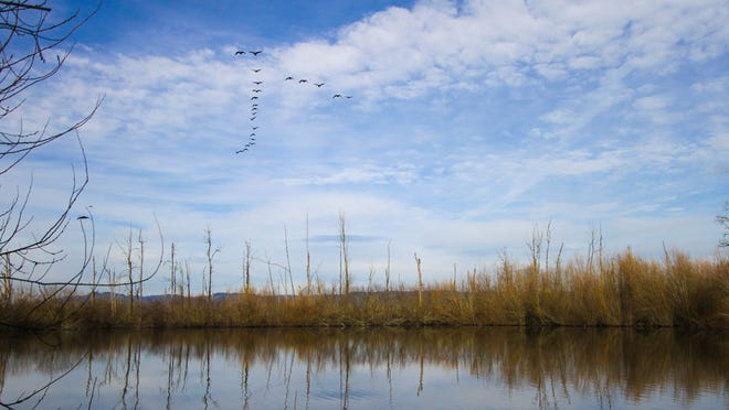 A flock of Canada geese fly over the pond and photo blind at Ankeny Wildlife National Refuge on a clear winter day on Jan. 9, 2015