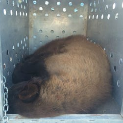 The bear was captured and tranquilized early Thursday morning near a home east of the Loop 202 and U.S. 60.