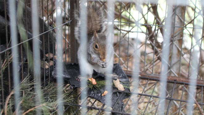A squirrel that was found starving to death in a trap eats a peanut while it rehabilitates behind Melissa Jacobs home in Neptune. Jacobs is one of a shrinking number of licensed wildlife rehabilitators in New Jersey.