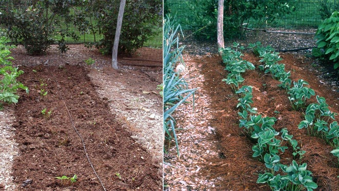 The strawberry bed on the left has been renovated. A few weeks later, (as seen on the right) it's ready for next spring's crop.