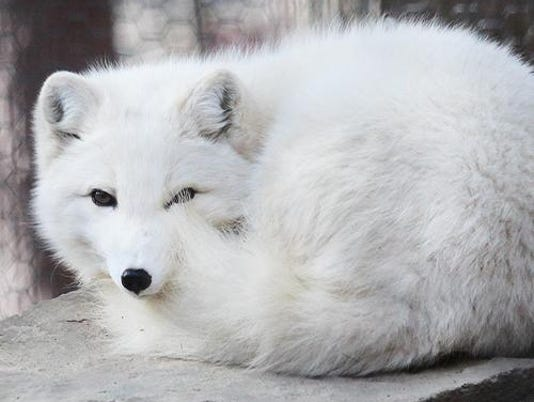 2016_animal_arctic_fox