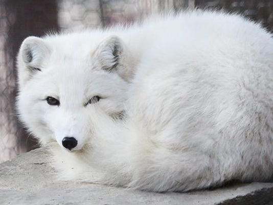 2016_animal_arctic_fox