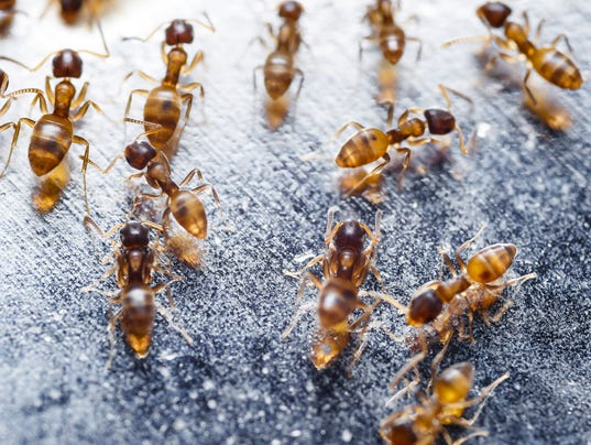 Close up of red imported fire ants (Solenopsis invicta)