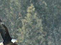 Birdwatcher Elyssa Fried spotted a bald eagle in Sullivan County last year as part of the Great Backyard Bird Count.