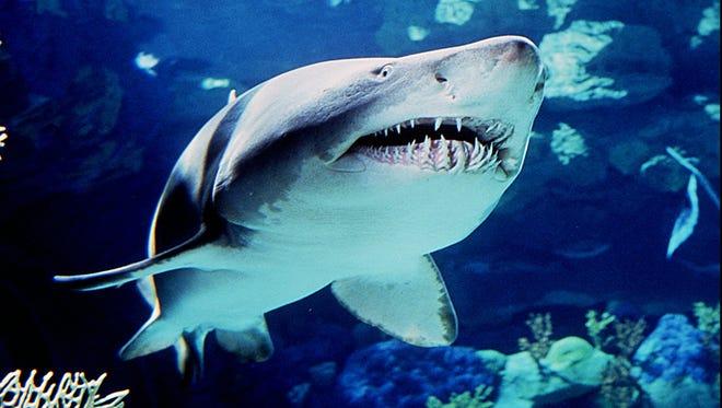 A sandtiger shark looks menacing in Sea World in San Diego.