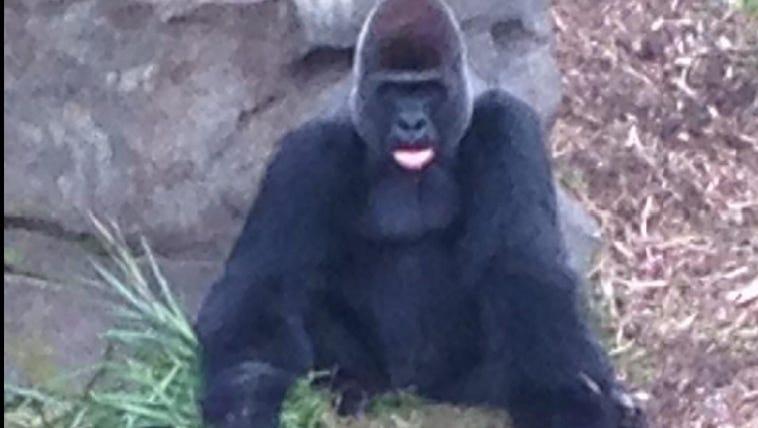Houston's gorilla exhibit opened Friday morning.