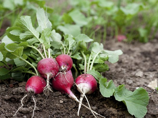 Spring radishes: If you like their flavor, you can't beat these for their ease of growing.