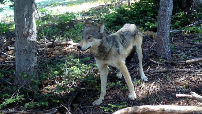 A gray wolf in Okanogan County in 2008.