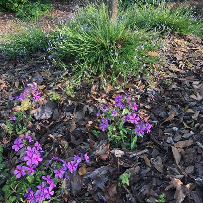 Woodland phlox and blue-eyed grass are some of the