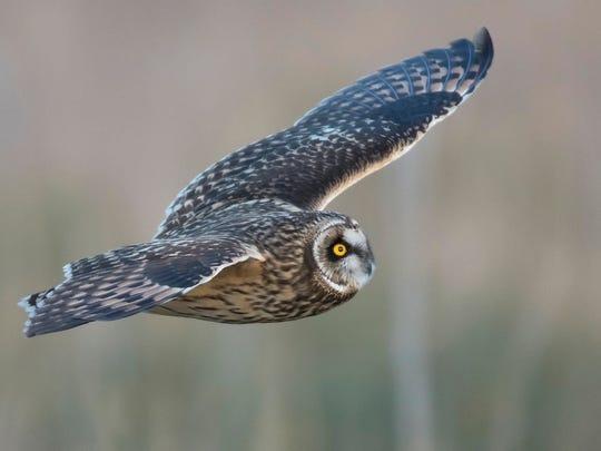 Short-eared owls at Fowler Beach.