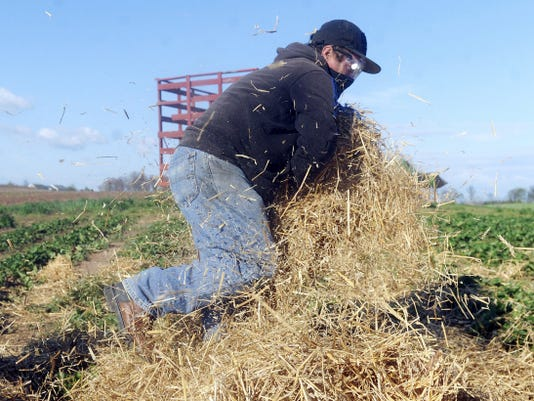 The wind blows the straw from the hands of Jose Bargoas, an employee with Whitecomb's Farm Market in West Manchester Township, as he lays it over the strawberry fields to deal with mud. Despite a few cold nights, April has been warmer than average, according to the National Weather Service.