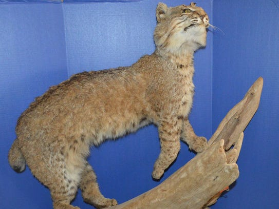Von Trier is selling this bobcat mounted on driftwood