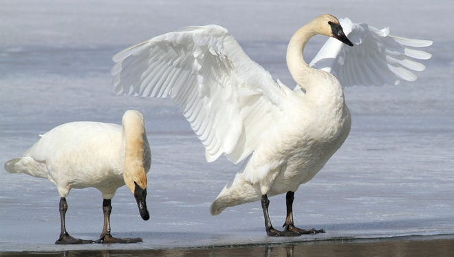 FILE - In this March 25, 2015, file photo, a pair of trumpeter swans stretch and preen on ice along a channel of open water at Westchester Lagoon in Anchorage, Alaska. No state currently has hunting seasons for trumpeter swans, which have made a comeback in recent decades thanks to efforts to reintroduce them. Now the U.S. Fish and Wildlife Service is working on a plan aimed at letting hunters shoot them legally in certain states that allow the hunting of tundra swans.