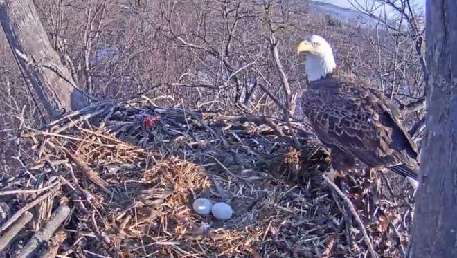 A Hanover eagle looks over its newly laid eggs on Feb. 22.