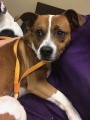 Casanova is an adult, neutered male beagle. He is fully