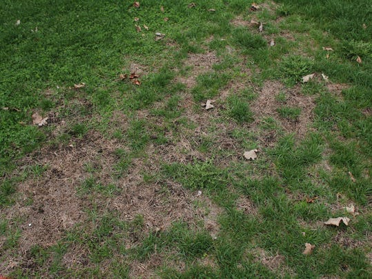 A patchy lawn that needs overseeding.jpg