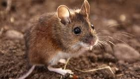 Mice droppings and flea bites are key elements in spreading the plague.