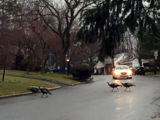 teaneck-turkeys.jpg