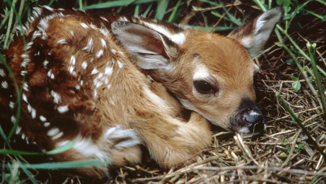 Fawn crops face a number of obstacles, but managing for fawn recuitment can help ensure healthy numbers make it to adulthood.