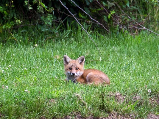 Giralda Farms Habitat Fox.jpg