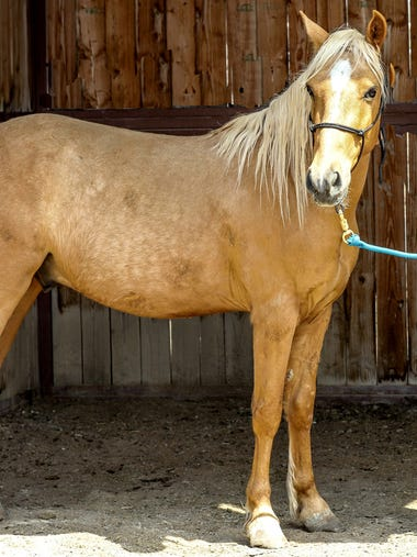 Dickens is a beautiful palomino gelding who was once