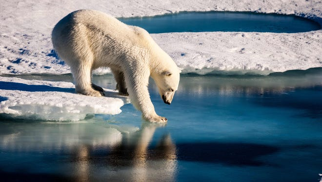 A polar bear test the strength of thin sea ice in the Arctic on Aug. 22, 2015.