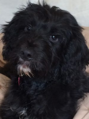 Bailey is a 4-month-old female black Labra/doodle available through the Hart County Humane Society.