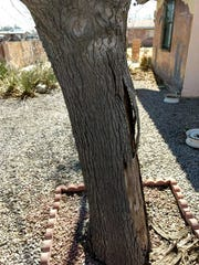 The buckled bark of a mature mulberry tree in Las Cruces shows southwest injury.