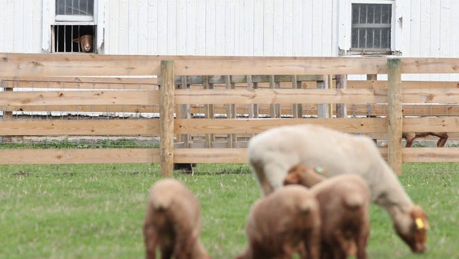 A Tunis sheep looks out of a barn window at the sheep and lambs at Hale Farm and Village in Bath on Tuesday March 31, 2020.