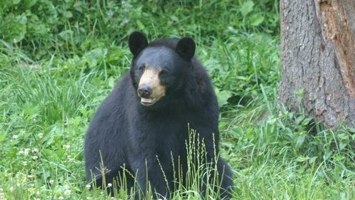 When possible, Great Smoky Mountains National Park personnel collect animal remains to use for education purposes. In the case of a recently euthanized black bear, though (not the bear pictured here) it was allowed to naturally decompose.