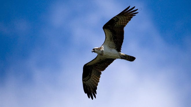 An osprey flys over Sand Bar State Park in Milton.