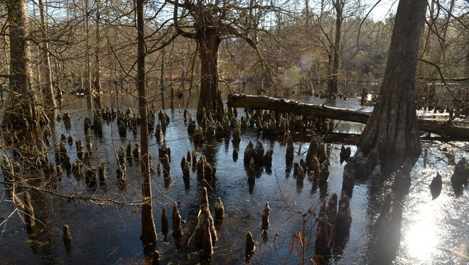 Cypress knees jut through thin ice coating a pond in central Alabama on the Millwood estate.