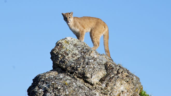 A mountain lion -- also known as a cougar, puma or panther -- stands on a rock in 2012 near Kalispell, Montana.