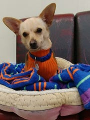 Drago is a 2½-year-old, 10-pound, neutered-male chihuahua mix. He is house trained and gets along well with other dogs and cats. Drago loves to cuddle and loves fluffy toys. It takes him a little while to warm up but once he gets to know you, he will never leave your side when you settle down. Find him through Precious Friends Puppy Rescue and Adoption, 931-551-4407, www.facebook.com/PreciousFriendsRescue/.