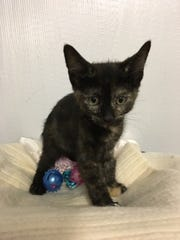 Keona is a female, mellow, little 4-month-old kitten. Keona's name means sweet fragrance. Raining Cats N Dogs adoptions include spay/neuter services, vaccines and vetting as needed. Call 232-6299. Go to http://rainingcatsndogs.rescuegroups.org.