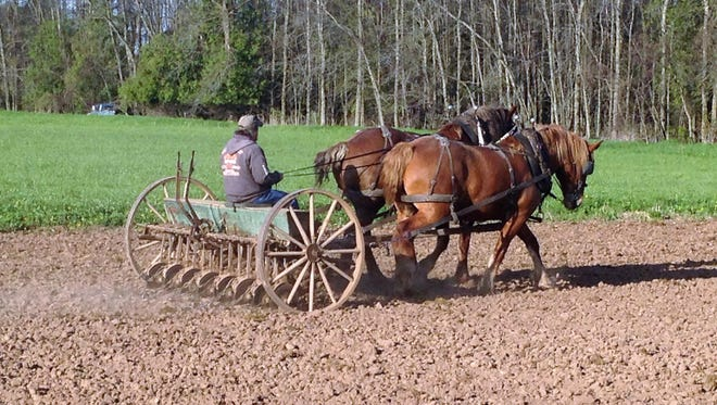 """A pair of horses goes to work on the Lohrey farm in Rio Creek. Bob Lohrey gives a program on his memories of """"Farming with Horses"""" as part of the Sept. 2 Vintage Day at Heritage Village at Big Creek in Sturgeon Bay."""