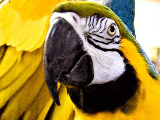Sonja, a 17-year-old blue and gold macaw, spreads her wings during the York Reptile & Pet Expo is shown in Memorial Hall at the York Fairgrounds in York, Pa. on Saturday, Nov. 14, 2015.
