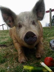 Wally the pig is seen at SoulSpace Sanctuary in Wisconsin