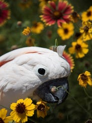 Angel, a 20-year-old Moluccan Cockatoo, among wildflowers