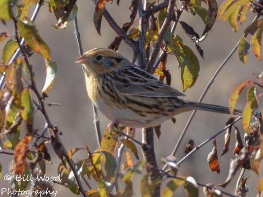 LeConte's Sparrow_winter sparrow by Bill Wood.jpg