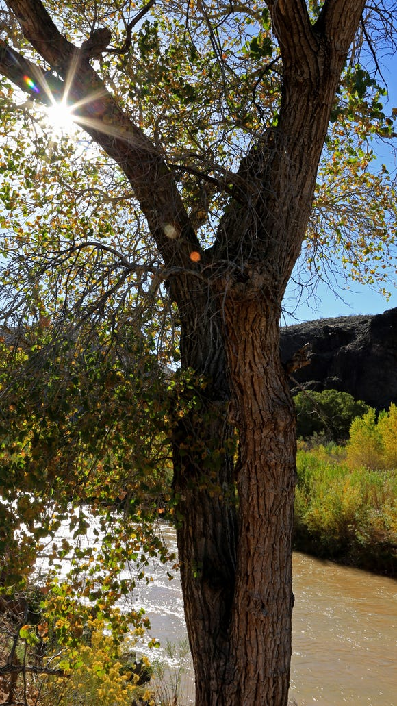 Trees along the Virgin River in Confluence Park are beginning to change color.