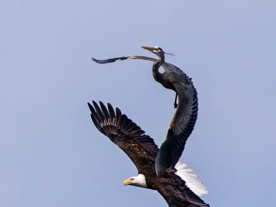 Bald eagle and blue heron